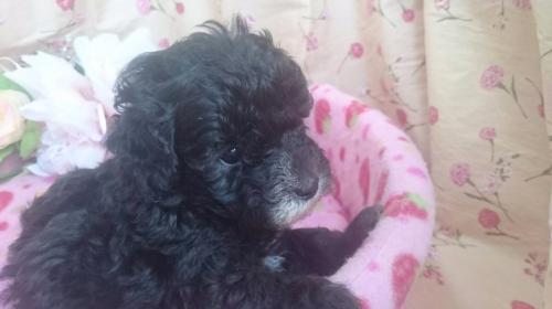 トイプードルの子犬(ID:1258511073)の1枚目の写真/更新日:2017-08-19
