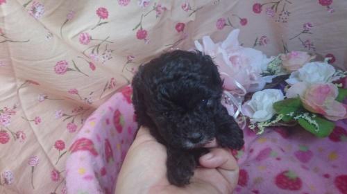 トイプードルの子犬(ID:1258511075)の1枚目の写真/更新日:2017-08-19