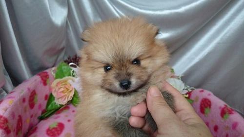 ポメラニアンの子犬(ID:1258511077)の1枚目の写真/更新日:2017-09-16