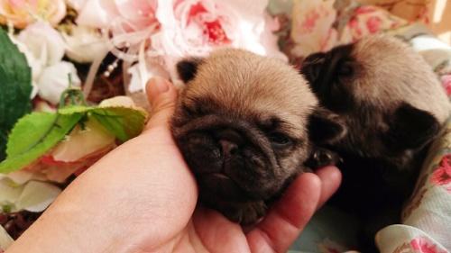 パグの子犬(ID:1258511081)の1枚目の写真/更新日:2017-12-11