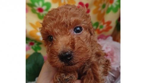 トイプードルの子犬(ID:1258511089)の1枚目の写真/更新日:2018-04-17