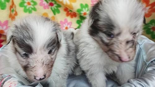 シェットランドシープドッグの子犬(ID:1258511093)の1枚目の写真/更新日:2018-04-17