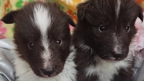 シェットランドシープドッグの子犬(ID:1258511096)の1枚目の写真/更新日:2018-04-17