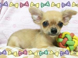 チワワ(ロング)の子犬(ID:1258711001)の1枚目の写真/更新日:2015-08-18