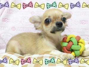 チワワ(ロング)の子犬(ID:1258711001)の2枚目の写真/更新日:2015-08-18
