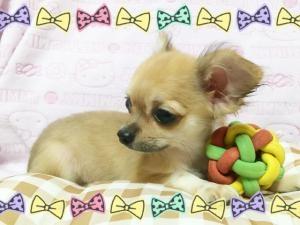 チワワ(ロング)の子犬(ID:1258711001)の4枚目の写真/更新日:2015-08-18