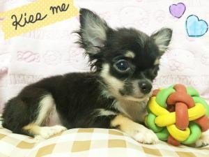 チワワ(ロング)の子犬(ID:1258711002)の1枚目の写真/更新日:2015-08-18