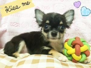 チワワ(ロング)の子犬(ID:1258711002)の2枚目の写真/更新日:2015-08-18