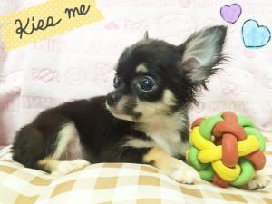 チワワ(ロング)の子犬(ID:1258711002)の3枚目の写真/更新日:2015-08-18