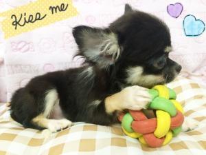 チワワ(ロング)の子犬(ID:1258711002)の4枚目の写真/更新日:2015-08-18