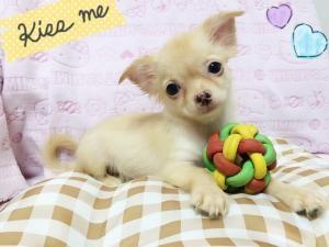 チワワ(ロング)の子犬(ID:1258711003)の1枚目の写真/更新日:2015-08-18