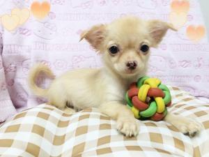 チワワ(ロング)の子犬(ID:1258711003)の2枚目の写真/更新日:2015-08-18