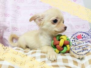 チワワ(ロング)の子犬(ID:1258711003)の3枚目の写真/更新日:2015-08-18