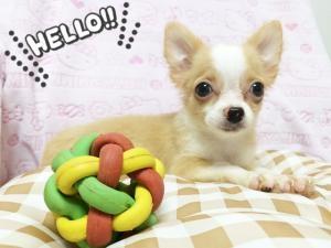 チワワ(ロング)の子犬(ID:1258711004)の1枚目の写真/更新日:2015-08-18