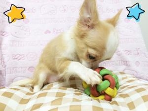 チワワ(ロング)の子犬(ID:1258711004)の2枚目の写真/更新日:2015-08-18