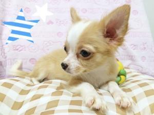チワワ(ロング)の子犬(ID:1258711004)の3枚目の写真/更新日:2015-08-18