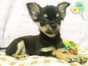 チワワ(ロング)の子犬(ID:1258711005)の1枚目の写真/更新日:2015-08-18