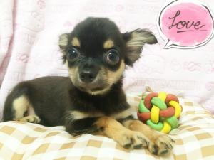 チワワ(ロング)の子犬(ID:1258711005)の2枚目の写真/更新日:2015-08-18