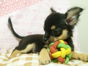 チワワ(ロング)の子犬(ID:1258711005)の3枚目の写真/更新日:2015-08-18