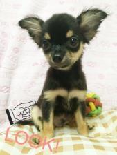 チワワ(ロング)の子犬(ID:1258711005)の5枚目の写真/更新日:2015-08-18