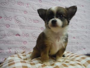 チワワ(ロング)の子犬(ID:1258711006)の1枚目の写真/更新日:2015-08-11