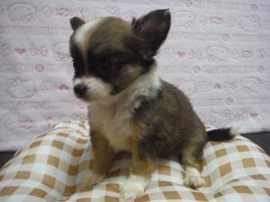 チワワ(ロング)の子犬(ID:1258711006)の3枚目の写真/更新日:2015-08-11