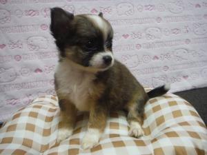 チワワ(ロング)の子犬(ID:1258711006)の4枚目の写真/更新日:2015-08-11