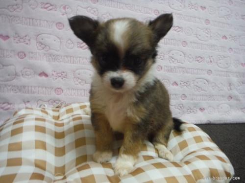 チワワ(ロング)の子犬(ID:1258711007)の2枚目の写真/更新日:2015-08-18