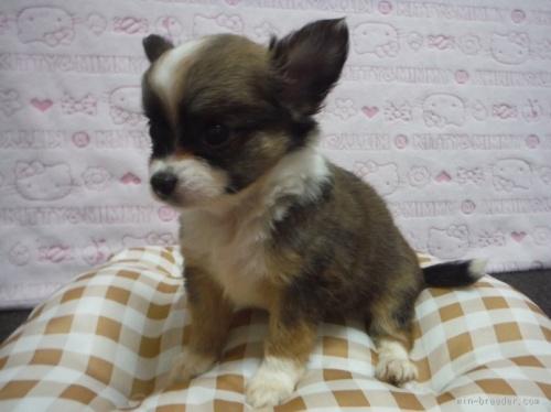 チワワ(ロング)の子犬(ID:1258711007)の3枚目の写真/更新日:2015-08-18