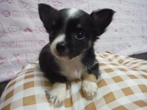 チワワ(ロング)の子犬(ID:1258711008)の2枚目の写真/更新日:2015-08-11