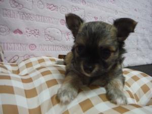 チワワ(ロング)の子犬(ID:1258711009)の1枚目の写真/更新日:2015-08-11