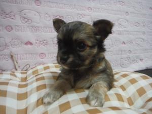 チワワ(ロング)の子犬(ID:1258711009)の2枚目の写真/更新日:2015-08-11