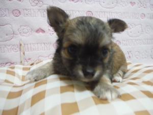チワワ(ロング)の子犬(ID:1258711009)の3枚目の写真/更新日:2015-08-11