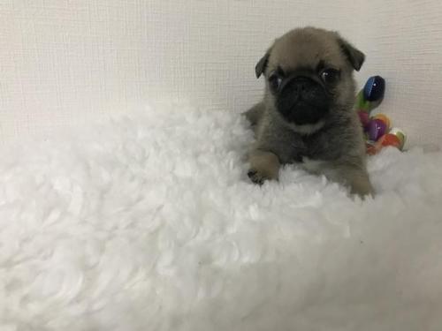 パグの子犬(ID:1259311003)の1枚目の写真/更新日:2017-02-02