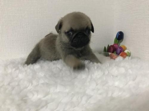 パグの子犬(ID:1259311003)の2枚目の写真/更新日:2019-08-05
