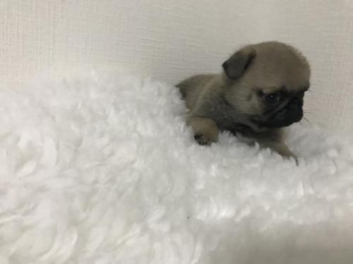 パグの子犬(ID:1259311003)の3枚目の写真/更新日:2019-08-05
