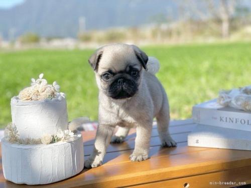パグの子犬(ID:1259311005)の3枚目の写真/更新日:2020-03-24