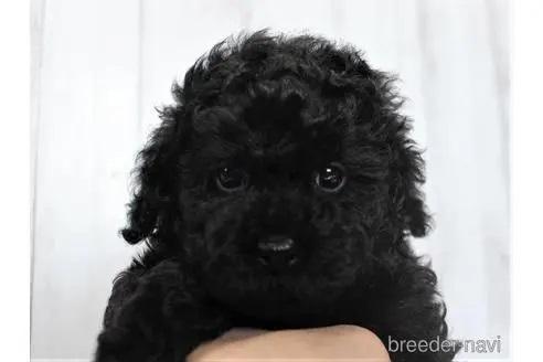トイプードルの子犬(ID:1259511002)の1枚目の写真/更新日:2018-07-18