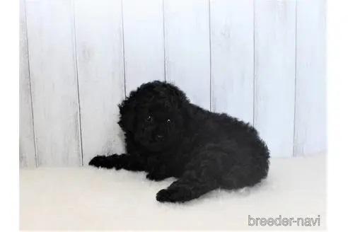 トイプードルの子犬(ID:1259511002)の2枚目の写真/更新日:2018-07-18