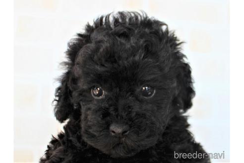 トイプードルの子犬(ID:1259511004)の1枚目の写真/更新日:2018-07-18