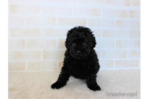 トイプードルの子犬(ID:1259511004)の2枚目の写真/更新日:2018-07-18