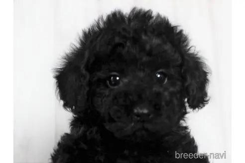 トイプードルの子犬(ID:1259511005)の1枚目の写真/更新日:2018-07-18