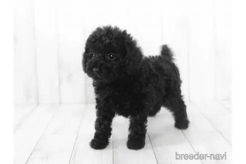 トイプードルの子犬(ID:1259511005)の2枚目の写真/更新日:2018-07-18