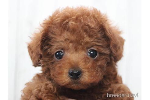 トイプードルの子犬(ID:1259511006)の1枚目の写真/更新日:2018-07-26