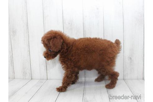 トイプードルの子犬(ID:1259511006)の2枚目の写真/更新日:2018-07-26