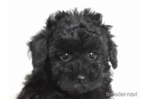 トイプードルの子犬(ID:1259511007)の1枚目の写真/更新日:2019-01-29