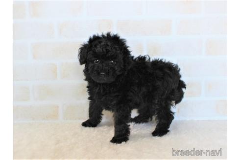 トイプードルの子犬(ID:1259511007)の2枚目の写真/更新日:2019-01-29