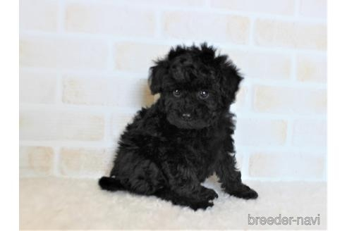 トイプードルの子犬(ID:1259511007)の3枚目の写真/更新日:2019-01-29
