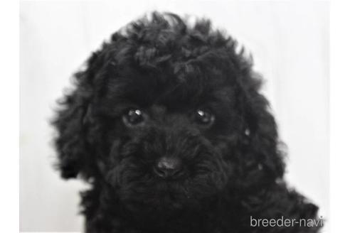 トイプードルの子犬(ID:1259511008)の1枚目の写真/更新日:2019-01-29