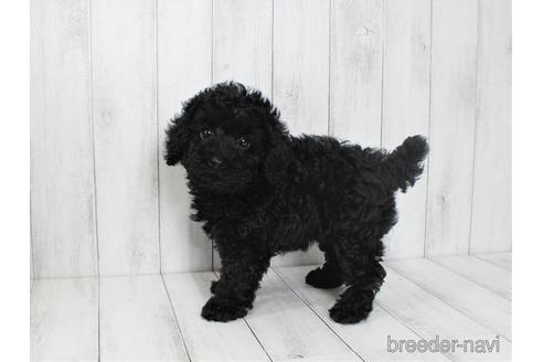 トイプードルの子犬(ID:1259511008)の2枚目の写真/更新日:2019-01-29